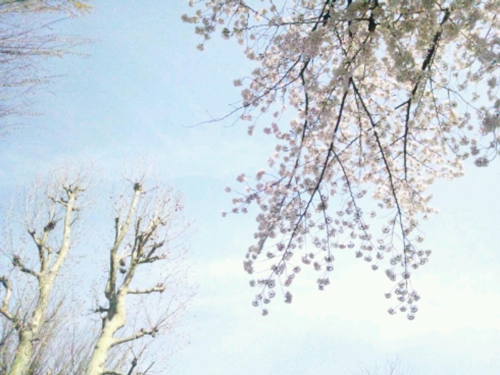 桜満開ですね。