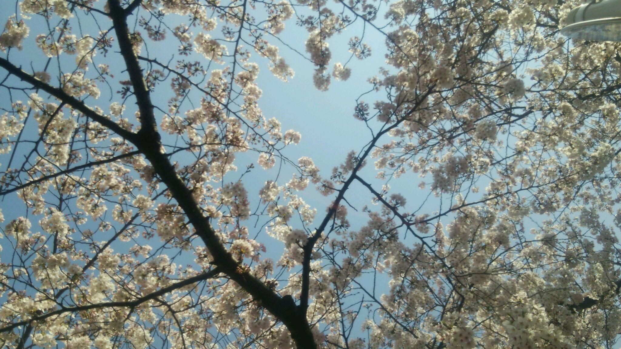桜咲く〜受かった。。。